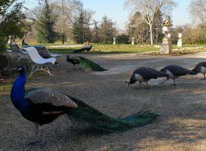 Paons du parc de Bagatelle
